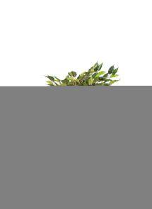 Ficus Liana Hawaii Groen x 120
