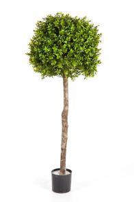 Buxus Bolboom op Hoge Stam, H: 120cm