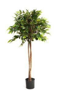 Ficus Natasja Parasol Groen x 150