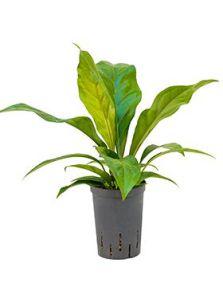 Anthurium jungle bush, Bush, H: 40cm, potmaat: 15/19cm