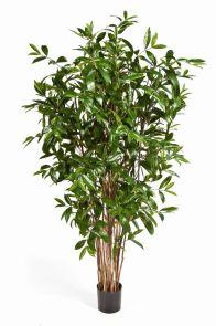 Dracaena Surculosa, H: 180cm