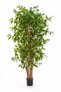 Dracaena Surculosa, H: 240cm