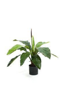 Anthurium Jungle, H: 80cm