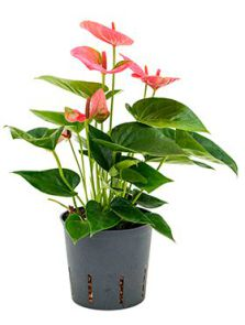 Anthurium sweet dream, Roze, potmaat: 13/12cm