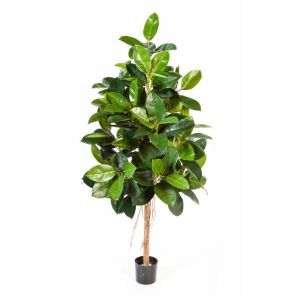 Ficus Elastica, (rubber plant), H: 180cm