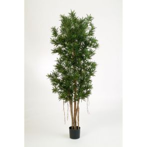 Podocarpus Reflexa, H: 150cm