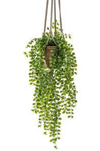Ficus Pumilla Hanging Bush x6, H: 80 cm in TC Hanging Pot, H: 16 cm