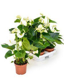 Anthurium and. sierra white 6/tray, Wit, H: 35cm, potmaat: 12cm
