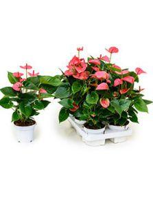 Anthurium and. pink champion 6/tray, Rose, H: 35cm, potmaat: 12cm