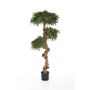 Podocarpus Bonsai, 2 koppen, H: 70cm
