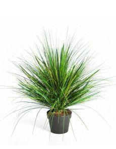 Gras Onion, H: 50cm