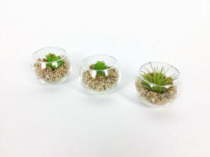 Cactus in glazen vaasje (3 stuks) diam: 6,7cm H: 5cm