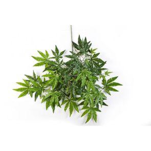 Japanese Maple Groen, L: 63cm