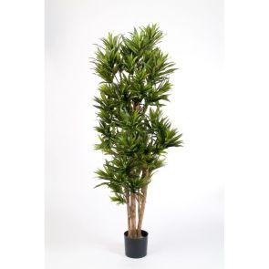 Dracaena Reflexa Groen, H: 180cm