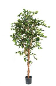 Ficus Fat Groen, H: 270cm