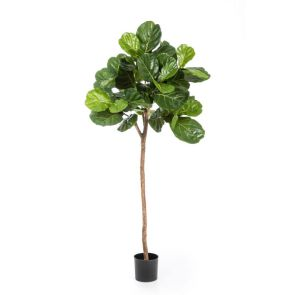 Ficus Lyrata bolvorm Groen, 170 cm