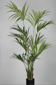 Kentia Palm, H: 180cm