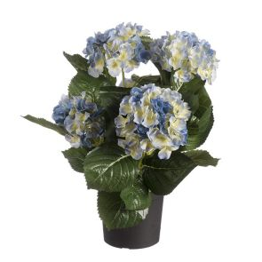Hortensia blauw in pot, H: 44cm
