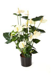Anthurium bloeiend crème, H: 78cm