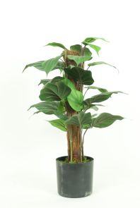 Philodendron Mosstok