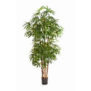 Rhapis Ladyfinger palm, H: 170cm