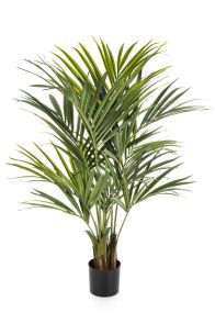 Kentia palm de luxe, H: 140 cm