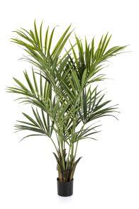 Kentia palm de luxe, H: 172cm
