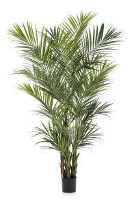 Kentia palm de luxe, H: 260cm