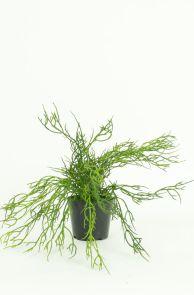Euphorbia Turicali
