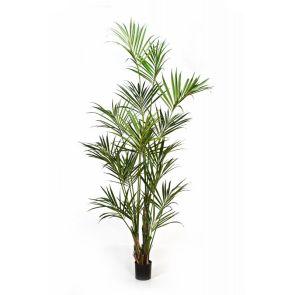Kentia Palm Groen, H: 260 cm