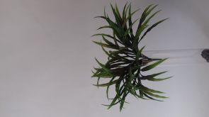 Dracaena White Stripe, H: 30cm UV & Waterproof