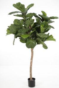 Fiddle leaf, H: 180cm