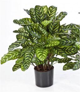 Calathea groen, H: 78 cm