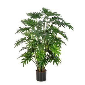 Philodendron Selloum, H: 100cm