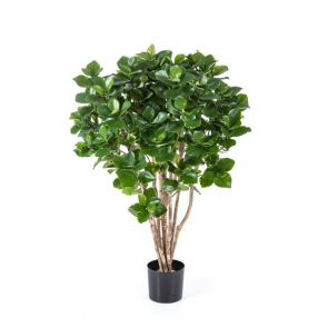 Clusia bush, H: 110cm