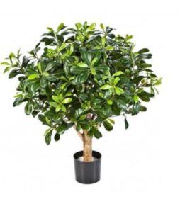 Pittisporum Ball tree, H: 120cm