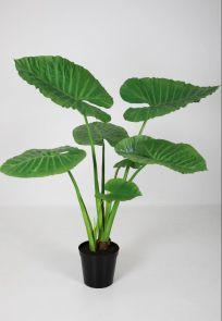 Alocasia, H: 130 cm