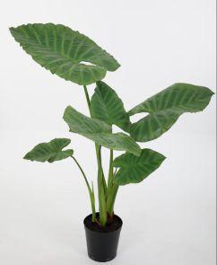 Alocasia, H: 120 cm