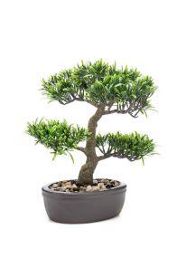 Podocarpus Bonsai inclusief pot, H: 32cm