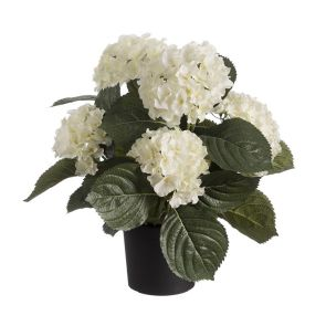 Hortensia wit in pot, H: 44cm