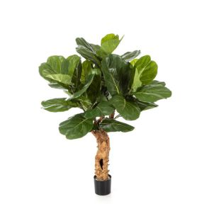 Ficus Lyrata forest trunk, H: 110cm