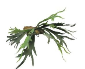 Hertshoorns, H: 50 cm