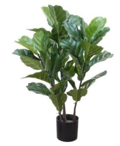 Ficus Lyrata, H: 95cm