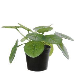 Pilea in pot, H: 15cm