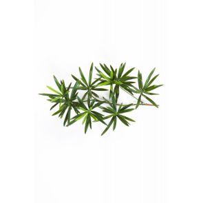 Podocarpus blad, H: 40cm