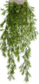 Asparagus Sprengeri, H: 75 cm