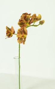 Orchidee Bruin