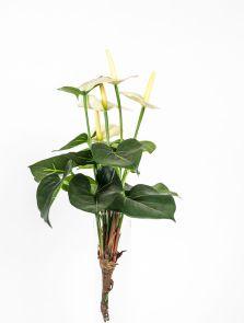 Anthurium wit / créme, H: 44cm
