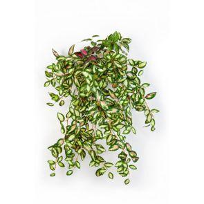 Hoya bush Groen, L: 50cm