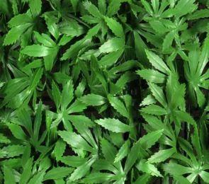 Cannabis Sativa, B: 50 cm, L: 50cm, UV & Waterproof